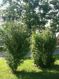 The green leaves on these trees will soon become multicolored as autumn approaches,