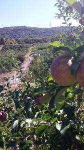 Apple overlooking Wilklow Orchard October 2014