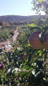 Apple overlooking Wilklow Orchard October 2014