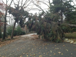 A tree that fell over my town as a result from Sandy. Photo by Bob Tognetti Sr.