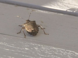 A brown marmorated stink bug, commonplace in the Hudson Valley, sits on an outdoor patio.