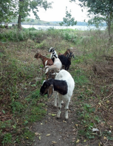 Green Goats grazing at Pelham Park in the Bronx, NY.